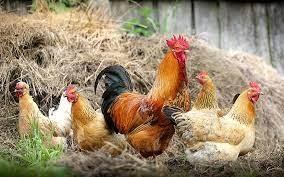 Ptasia grypa w Boguchwale